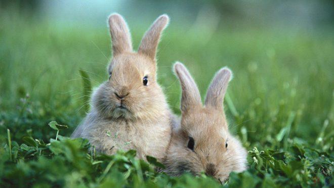 Разновидности кроликов