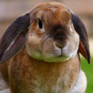 Кролик вельветовый