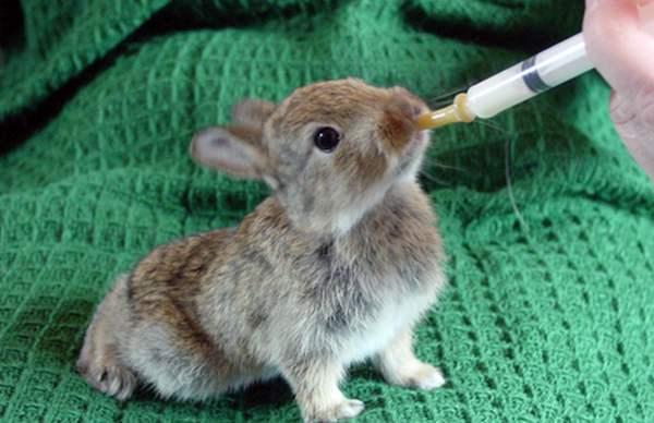 Крольчонок ест со шприца