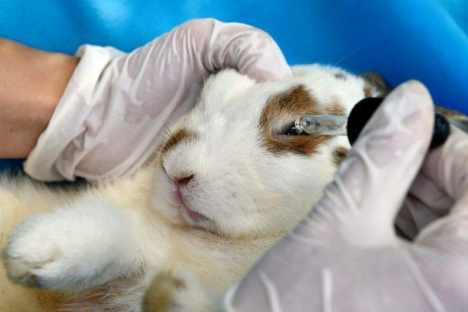 Лечение глаз у кролика