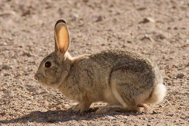 Кролик в дикой природе