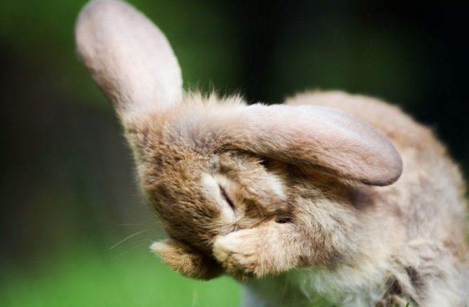 Сопливится кролик