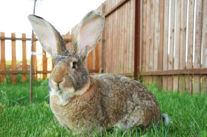 Характеристика кролика