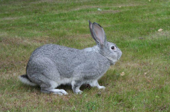 Происхождение породы кроликов
