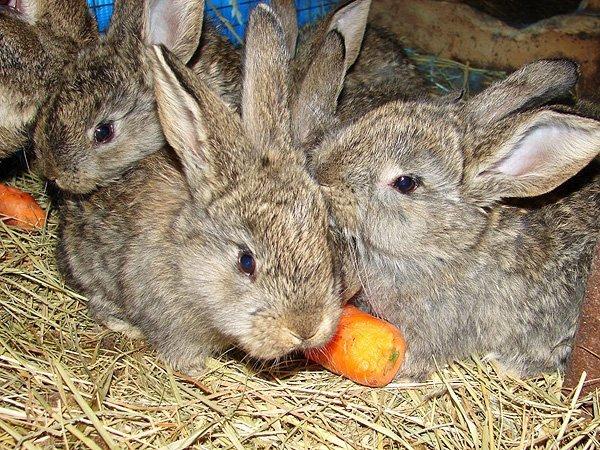 Крольчата ризена
