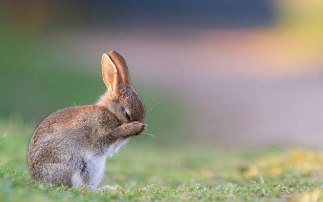 Почему кролики чихают