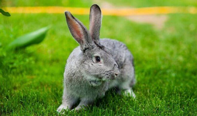 Уход за шиншилловым кроликом