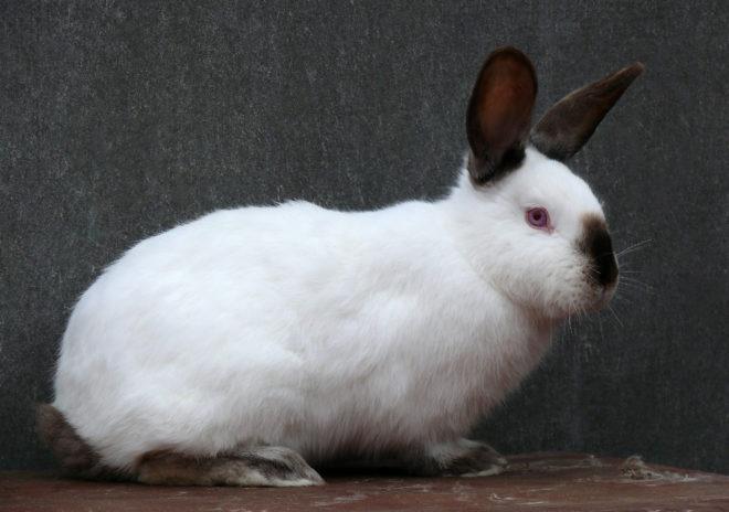 Белый кролик с черным пятнышком на носу