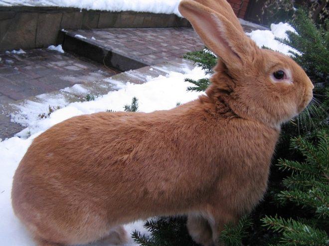 Кролик бургундской породы