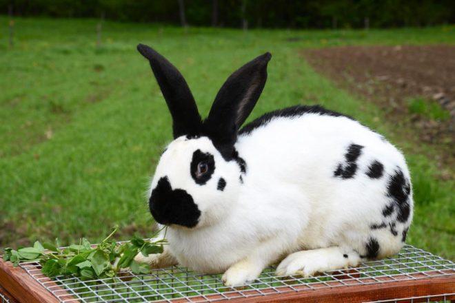 Кролик в пятнышках