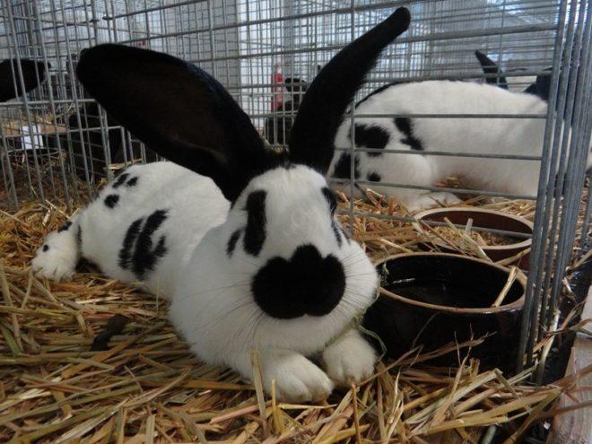 Уход за кроликом