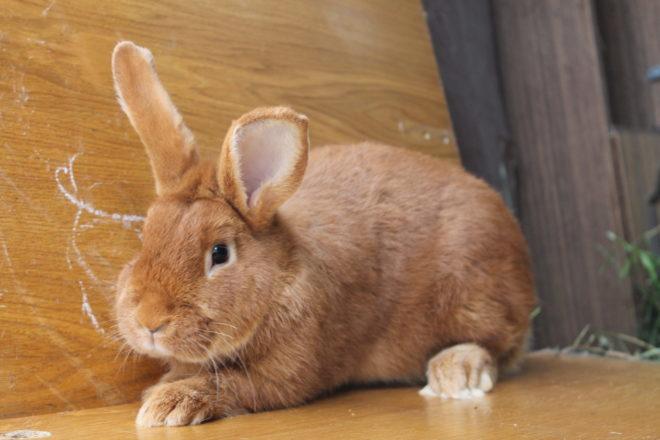 Золотистый кролик
