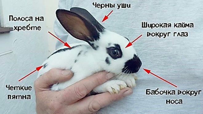Как выглядит кролик бабочка