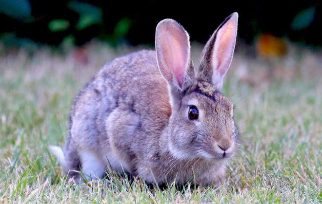 Кролик в живой природе
