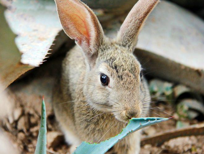 Что кушает дикий кролик