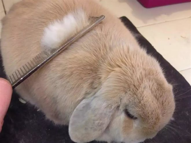 Вычесывание кролика