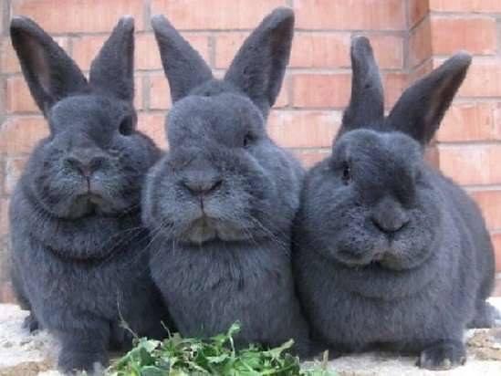 Три милых кролика