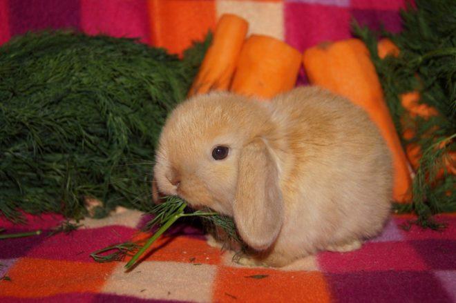 Кролик кушает укроп