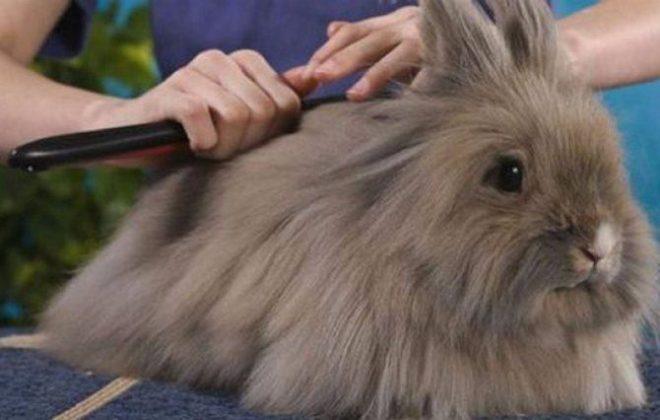 Расчесывание шерсти кролика