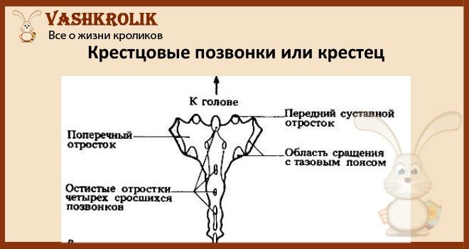 Как устроен крестец у кролика
