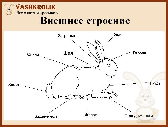 Схема как устроен кролик внешне