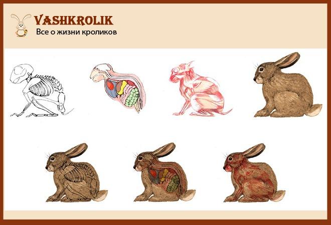 Внутреннее и внешнее строение кролика