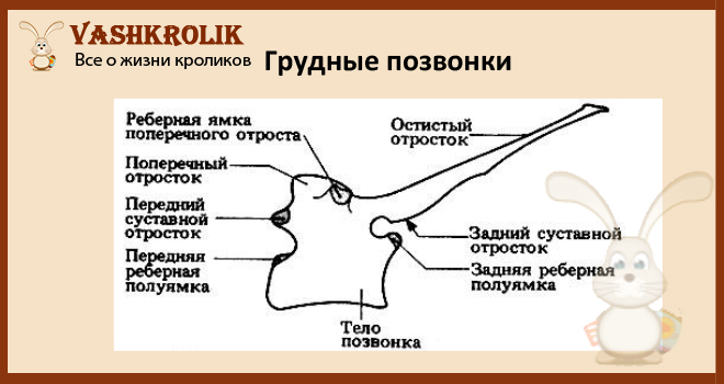 Строение грудных позвонков кролика