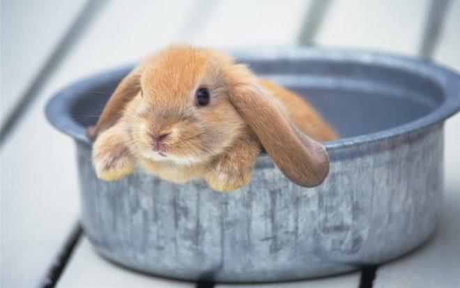 Декоративный кролик сидит в тазу