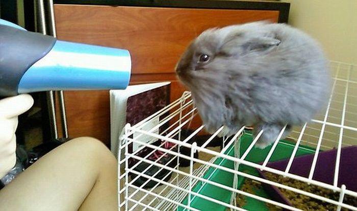 Сушим кролика после купания
