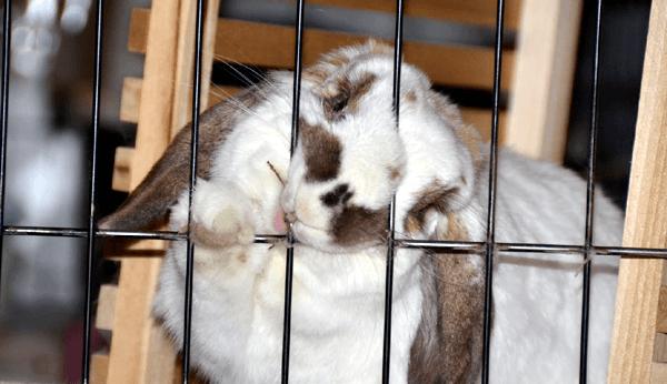 Кролик грызет свою клетку