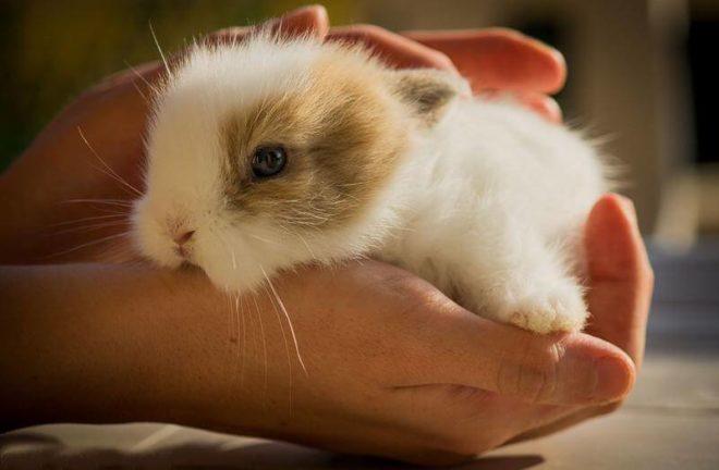 Декоративный кролик в руках человека