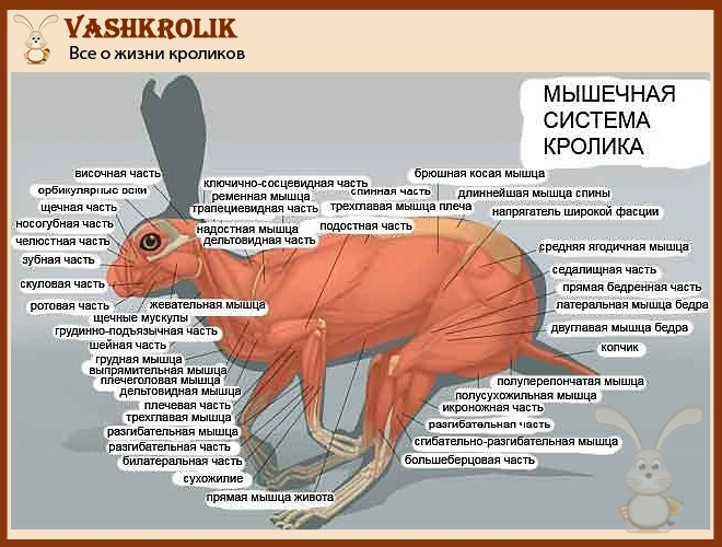 Мышцы у кролика