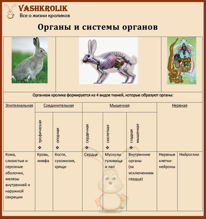 Органы кроликов
