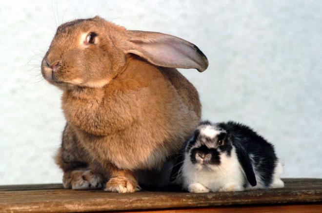 Рекордсмены среди кроликов
