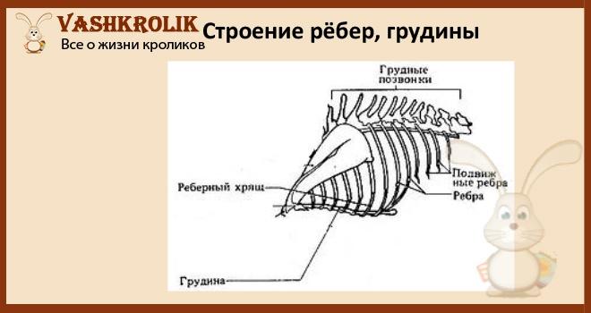 Как устроена грудина у кроликов
