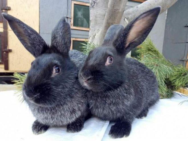 Пара кроликов полтавское серебро