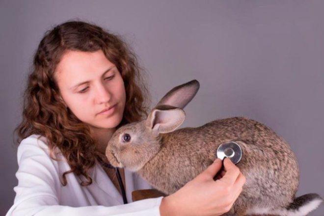 Ветеринар слушает кролика