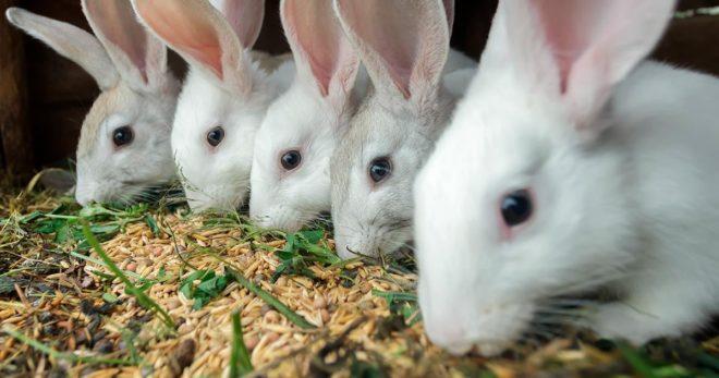 Кролики кушают зерно