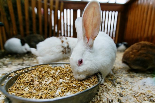 Кролик кушает зерно