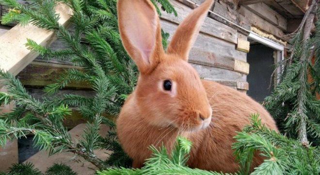 Кролик ест ветки елки