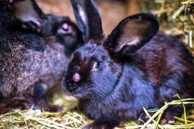 Заболевшие кролики