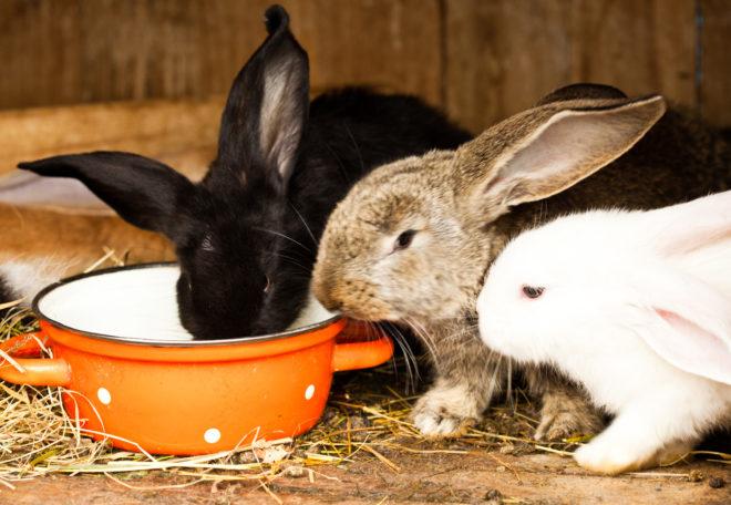Кролики пьют