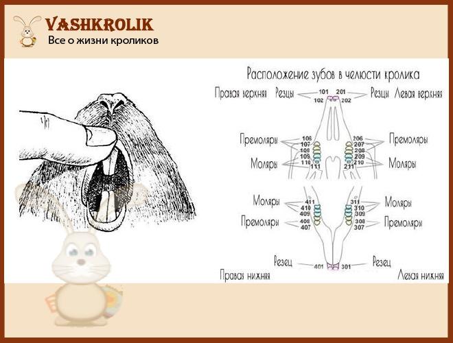 Зубы у кролика строение