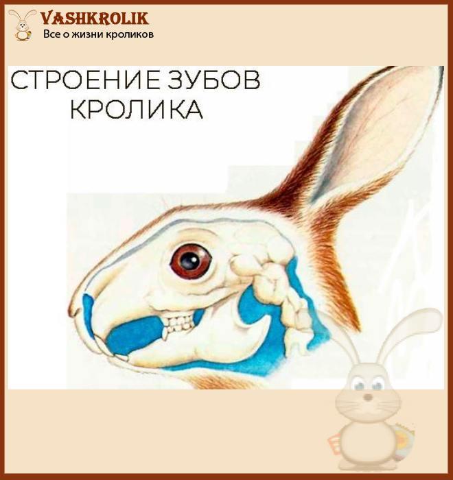 Схема строения зубов у кролика