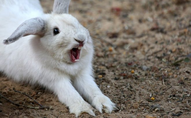 Кролик показывает зубы