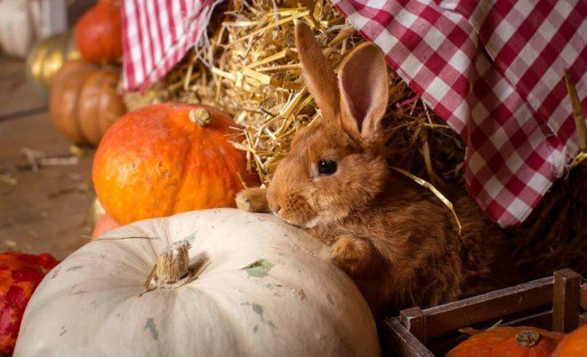 Как давать кролику тыкву