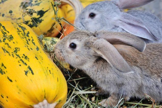 Кормление кролика тыквой
