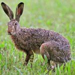 Заяц в дикой природе