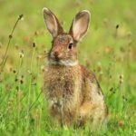 Кролик в природе