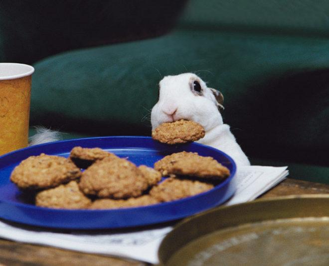 Кролик поедает печеньки